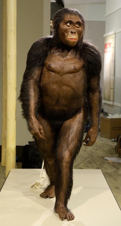 . Jeff Forman/JForman@News-Herald.com A sculpted reconstruction of Lucy by paleoartist John Gurche.