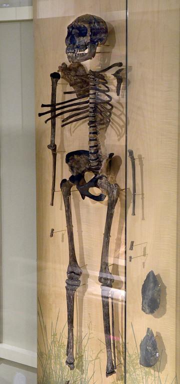 . Jeff Forman/JForman@News-Herald.com Turkana Boy, a specimen of Home erectus, is the most complete early human skeleton ever found.