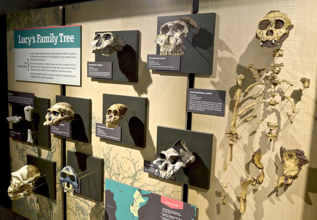 . Jeff Forman/JForman@News-Herald.com A display case shows several species related to Lucy, including Australopithecus and Paranthropus varieties�Lucy\'s family tree.