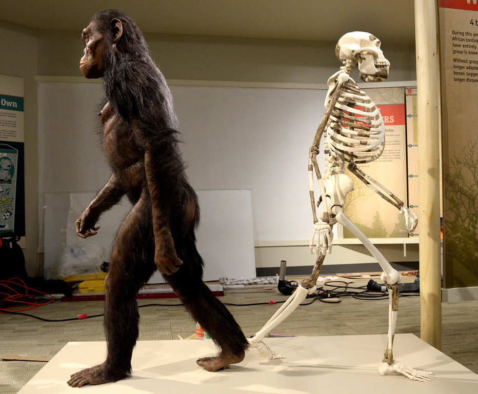 . Jeff Forman/JForman@News-Herald.com A sculpted reconstruction and a skeletal mount of Lucy will both be focal points of the Cleveland Museum of Natural History\'s new Human Origins Gallery.