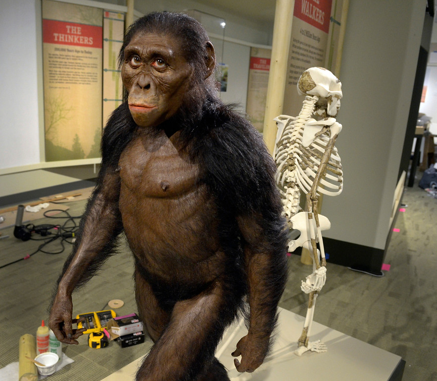 . Jeff Forman/JForman@News-Herald.com A lifelike sculpture of Lucy by paleoartist John Gurche will be featured prominently in the museum\'s human evolution gallery.